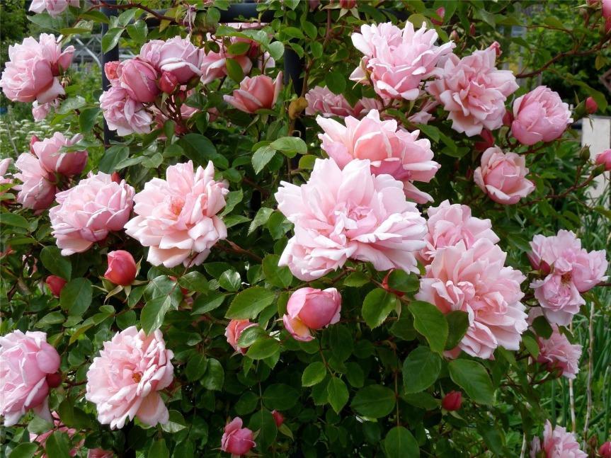 June Flower, TheRose.