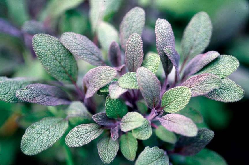 Sage Varieties: Growing Tips andRecipes
