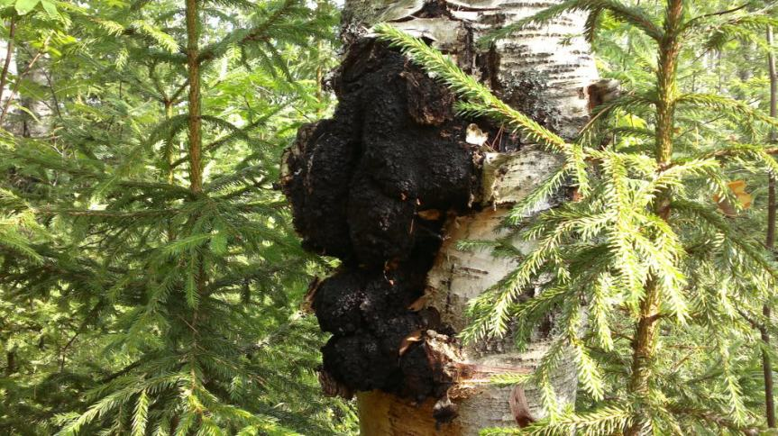 Health Benefits of Chaga Mushroom