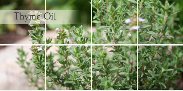 A Natural Antibiotic: Thyme Oil