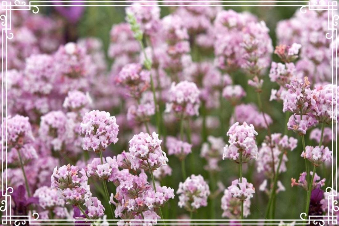 Lavender colorado