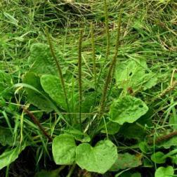 Plantago_major_SZ356869_Freshwater_MCotterill_IWNHAS