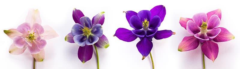 four-assorted-color-petal-flowers_Columbine flowers via Pikrepo