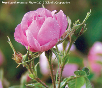 Happy Valentine's: Turkish Rose: A Review of the History, Ethnobotany, and Modern Uses of Rose Petals, Rose Oil, Rose Water, and Other RoseProducts