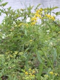 Verbesina alternifolia Wingstem Strawberry Rd by Kathy Schlosser