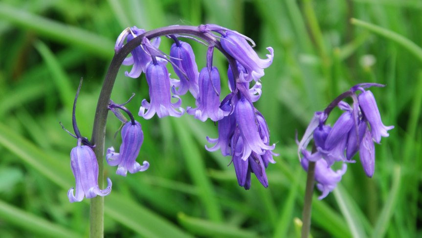 Spring Flowers, MagicalBluebells.