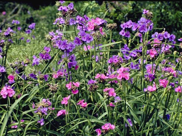 tradescantia flowers