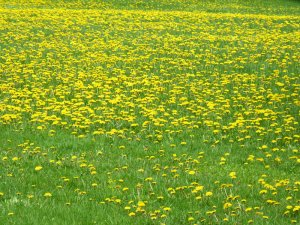 Fields of dandelion
