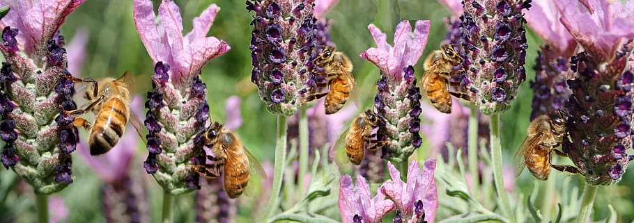 bees-insects-pollen-lavender-flowers-garden_Creative commons via Pxfuel