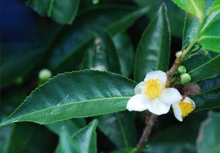 Camellia_sinensis_Bois_Cheri by Pancrat via Wikipedia Commons