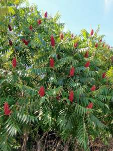 A lovely stand of staghorn sumac in bloom!