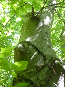 beech tree rising up with interesting patterns
